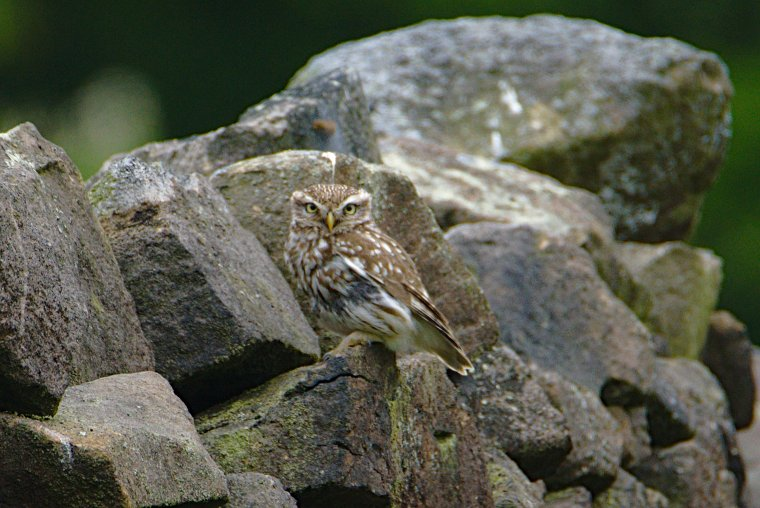 Little Owl or Minerva (Athene Noctua), Lothersdale, North Yorkshire, England - ...behind every picture, there is a story...