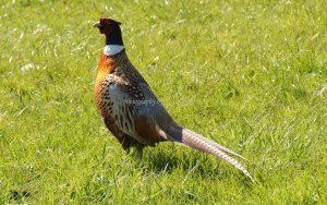 Pheasant (Phasianidae), Lothersdale, Craven, North Yorkshire, England