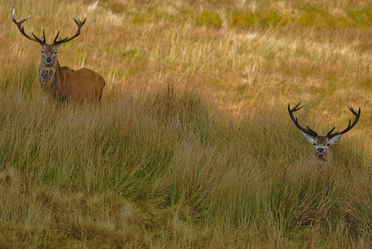 Red Deer at Ledmore, Sutherland, North West Scotland - ...behind every picture, there is a story...