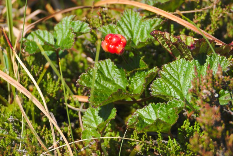 Cloud Berry, Near Trondheim, Trøndelag County, Norway - ...behind every picture, there is a story...