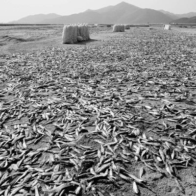 Sardines drying in the sun on a beach in Khor Kalba, Sharjah, UAE