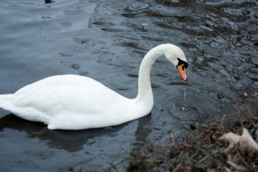 Mute Swan - Mesnes Park, Wigan