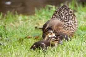 Mallard and duckling - Beaumaris
