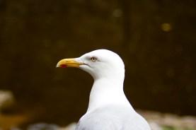 Herring Gull, Beaumaris