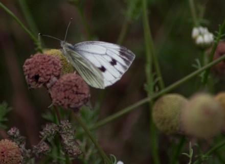 Green Veined White Butterfly - Near Middlesborough
