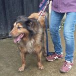 Sweet older girl  Bonnie has been in our care since mid November and has waited patiently at kennels - this lucky pooch is off to Heathlands Animal Sanctuary where a new home will await xxx