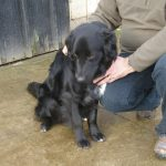 Jupiter - Retriever Male - RESERVED