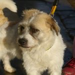 Freddie - Wiry Terrier Male - RESERVED