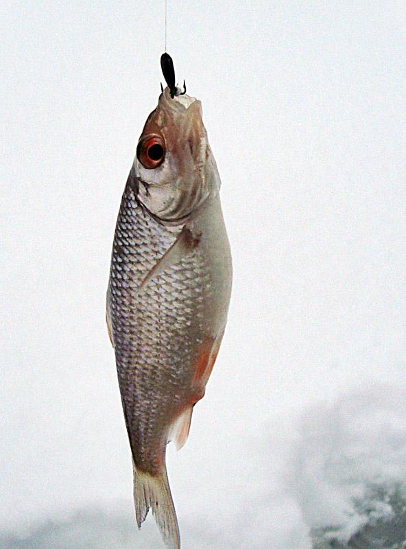 Как пожарить речную рыбу на сковороде