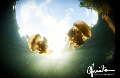 Stingless jellyfish in a lake in Indonesia