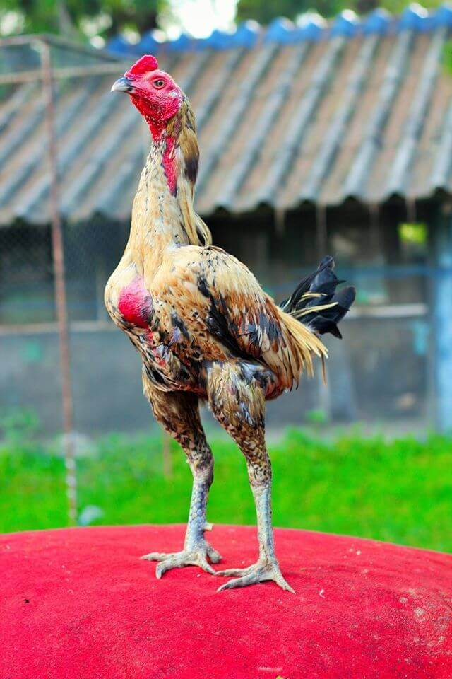Jual Ayam Magon Ori Yokkere Kaki Hitam Lawan Pakoy Pama
