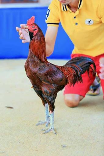 Ayam Pama Ori : Usul,, Ciri-Ciri,, Jenis,, Kelebihan, Kekurangannya