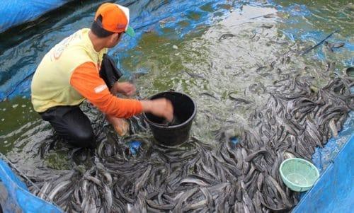 panen ikan lele sangkuriang