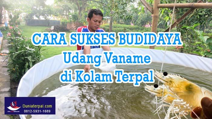 Cara Sukses Budidaya Udang Vaname Air Tawar di Kolam Terpal