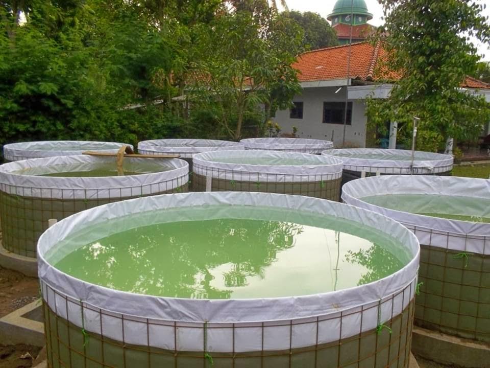 persiapan air kolam bioflok