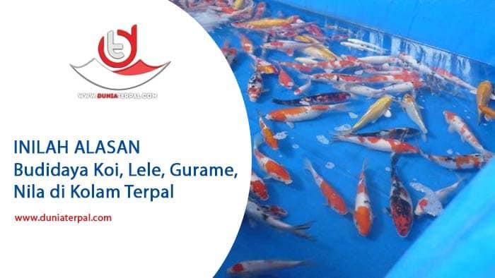 Budidaya Ikan Koi, Mas, Lele, Gabus, Nila, Gurame di Kolam Terpal