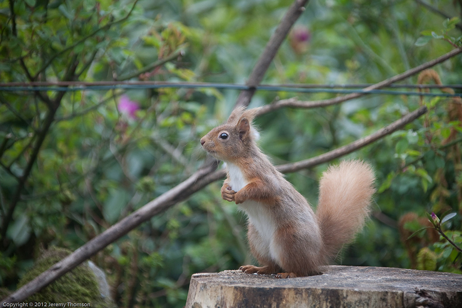 Red-Squirrel-5