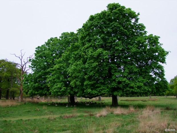 richmond-park-londyn-natura-zwiedzanie-atrakcje-12