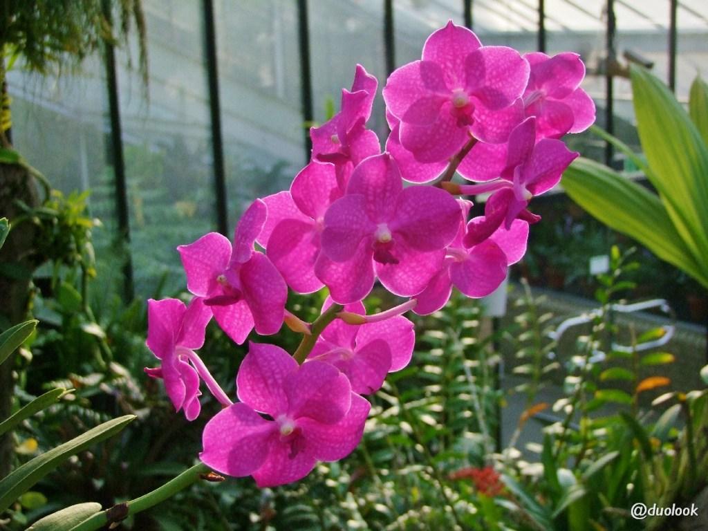 orchidea storczyk palmiarnia szklarnia