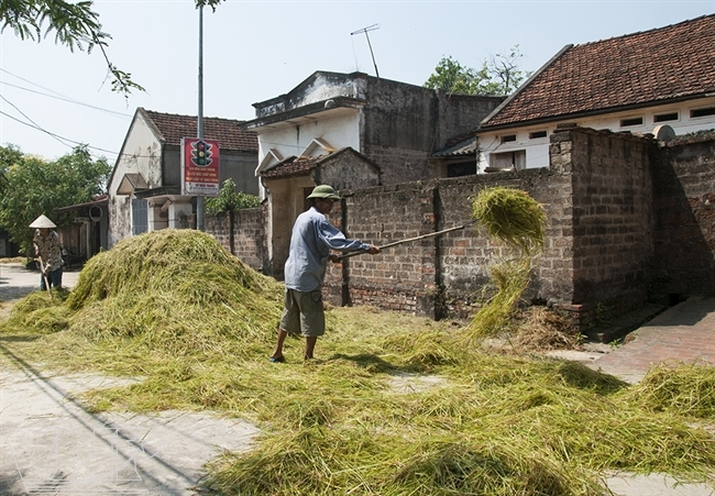 Drying the rice stalk to have straw to feed buffalo and cow in Duong Lam