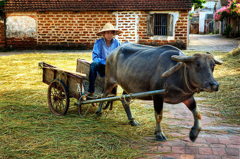 tending a buffalo to the rice paddy to carry rice in Duong Lam