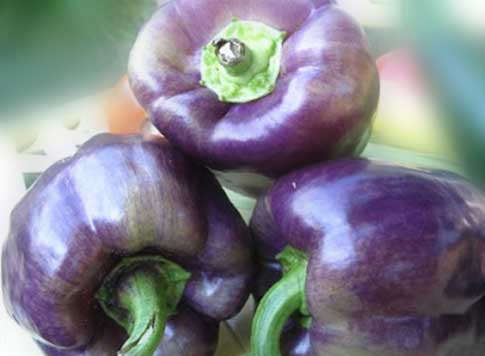 Purple Bell Pepper Nutrition Benefits Calories When To