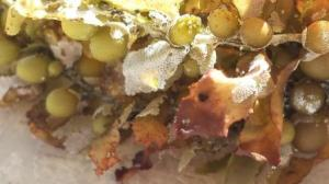 Sargassum weed closeup web size by Jenifer Joy Madden