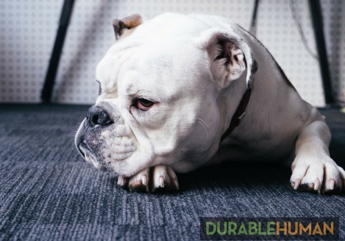 Grumpy Bulldog used with permission