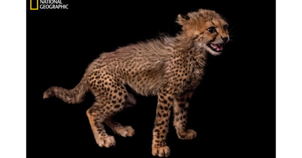national geographic social campaign takes aim at cheetah cub trafficking 1 - National Geographic Social Campaign Takes Aim at Cheetah Cub Trafficking