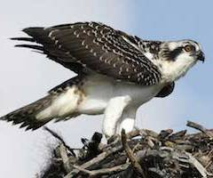 The first osprey hatched today!