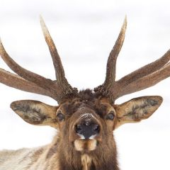 To grow bigger antlers, these elk risk life and limb