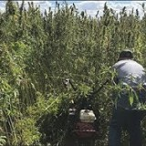 Congress Considers Legalizing Hemp