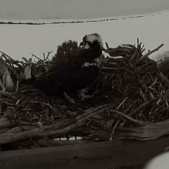 Female osprey has returned to the nest – Lake Capote