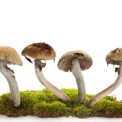 NewLeaf Brands To Buy Mushroom Company Mydecine