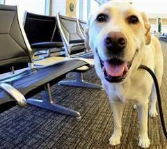 Therapy Dogs to the Rescue for Airport Stress