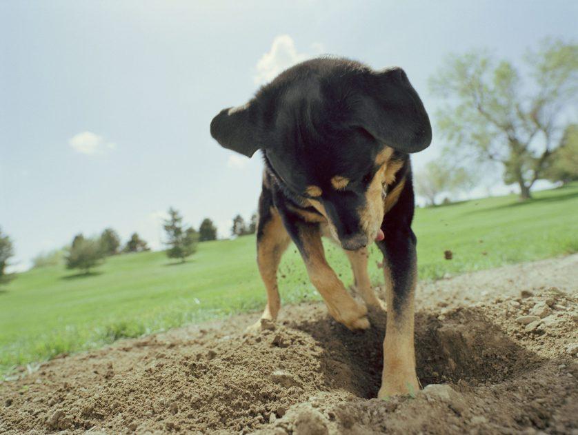 digging puppy