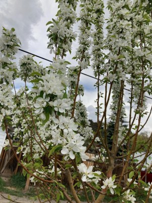 picture of flowering tree