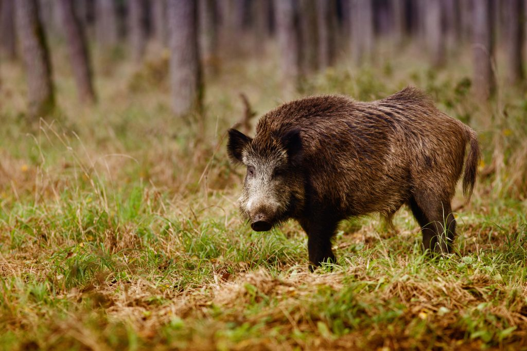 Facts About Healthy Eating Wild Boar Durhamranch Com