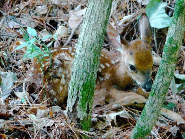 Fawn in Woods