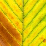 Yellow Orange Leaf