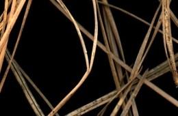 Brown Pine Needles