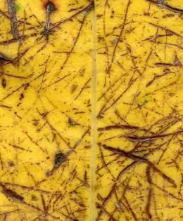 Scratched Leaf