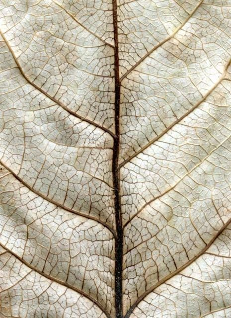 White Leaf After Klee