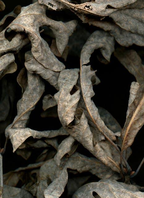 Leaves after daVinci
