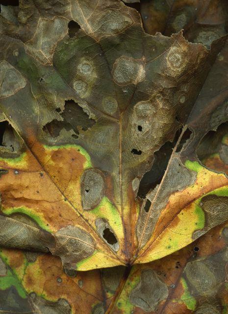Leaves after Van Gogh