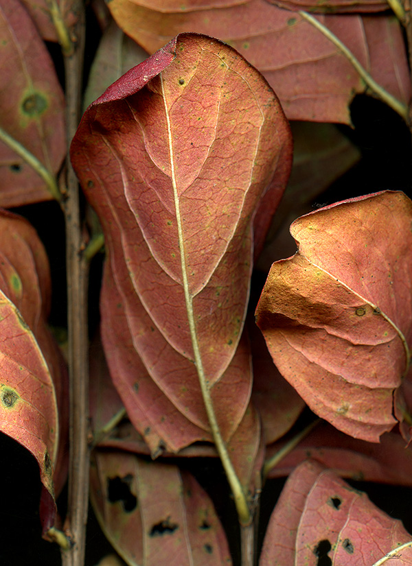 Leaves after Siqueros