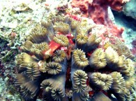 Flower_coral_Eusmilia_fastigiata_Belize_R_Cosgrove