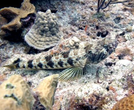 Sand_Diver_Synodus_intermedius_Belize_R_Cosgrove