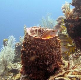 School_Master_Lutjenus_apodus_in_Giant_barrel_sponge_Belize_R