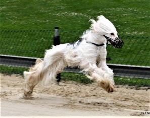 News AFGHAN HOUNDS DU SALAL Breed For Beauty And